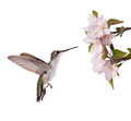 Female ruby throated hummingbird ready to feed on an apple blossom isolated on white Stock Image