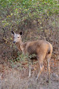 Female Sambar Cervus unicolor Royalty Free Stock Images
