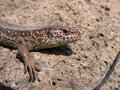 Female sand lizard lacerta agilis close up to its head Stock Photo