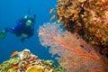 Female scuba diver viewing gorgonian sea fan Royalty Free Stock Photo