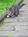 Female tabby kitten prepares to jump while playing with a dry grass blade