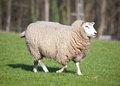 Female Sheep Royalty Free Stock Image