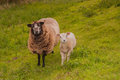 Female sheep with her lamb staning at a dike Royalty Free Stock Photo