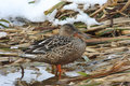 A female Shoveler Anas clypeata standing on reeds with snow in the background.. Royalty Free Stock Photo