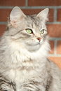 Female of siberian cat detail view a type silver on the scratching post Stock Photo