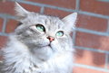 Female of siberian cat detail view a type silver on the scratching post Royalty Free Stock Photo