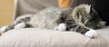 Female of siberian cat on the sofa sleeps ofa Royalty Free Stock Photography