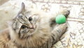 Female of siberian cat view a great breed version brown tricolor play with a ball Royalty Free Stock Photos