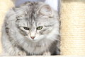 Female of siberian cat view a type silver on the scratching post Royalty Free Stock Photography