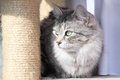 Female of siberian cat view a type silver on the scratching post Stock Image