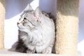 Female of siberian cat view a type silver on the scratching post Stock Images