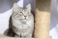 Female of siberian cat view a type silver on the scratching post Royalty Free Stock Images