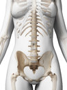 Female skeleton d rendered illustration of the Royalty Free Stock Photos