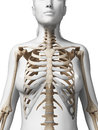 Female skeleton d rendered illustration of the Stock Photo
