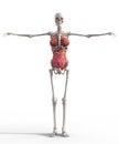 Female skeleton Royalty Free Stock Photo