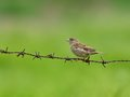 Female sparrow on barbed wire. Royalty Free Stock Photo
