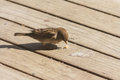 Female sparrow pecking on wooden boards close up of Stock Images