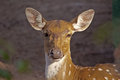 Female spotted deer portrait of a nandankanan zoo orissa Stock Photography