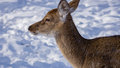 Female of a spotty deer close up Royalty Free Stock Photo