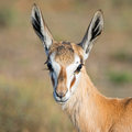 Female Springbok Portrait Royalty Free Stock Photo