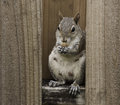 Female squirrel eating nut on fence gray a while sitting a brown wood grained Stock Photos