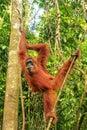 Female Sumatran orangutan hanging in the trees, Gunung Leuser Na Royalty Free Stock Photo