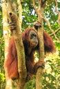 Female Sumatran orangutan sitting in a tree in Gunung Leuser Nat Royalty Free Stock Photo