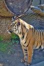 Female sumatran tiger panthera tigris sumatrae the Stock Photo