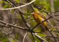 Female summer tanager photograph of a beautiful perched amidst the branches of a wisconsin woodland thicket Stock Photography