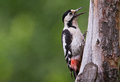 Female syrian woodpecker a is calling from the tree in bulgaria Royalty Free Stock Image