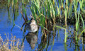 Female Teal anas crecca in water amongst reeds Royalty Free Stock Images