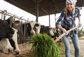 Female technician feeding cows with grass in livestock barn