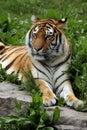 Female Tiger Royalty Free Stock Photo