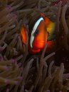 Female tomato anemonefish macro portrait of a in purple host anemone Stock Image