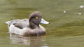 Female Tufted duck swimming on a lake Royalty Free Stock Photo
