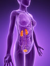 Female urinary system d rendered illustration Stock Image