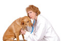 Female vet older veterinarian checking out a labrador mix isolated on white Stock Images