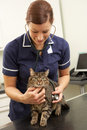 Female Veterinary Surgeon Examining Cat In Surgery Stock Photography