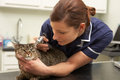Female Veterinary Surgeon Examining Cat In Surgery Stock Photo
