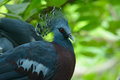 Female victoria crowned pigion goura victoria beautiful pigeon standing on ground Stock Image