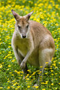Female wallaby Stock Photo