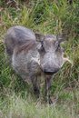 Female warthog standing in the grass in africa Royalty Free Stock Photography