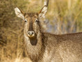 Female waterbuck Royalty Free Stock Image