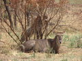A female waterbuck resting near a bush Royalty Free Stock Image