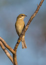 Female western spindalis warbler on a branch zena perches in the island of cuba Royalty Free Stock Images