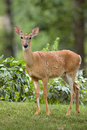 Female white tailed deer on front yard doe in suburban Royalty Free Stock Photography