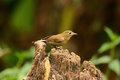 Female white-tailed robin Stock Images