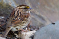 Female white-throated sparrow