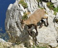 Female wild alpine ibex steinbock portrait capra or going down the rock in alps mountain france Stock Image