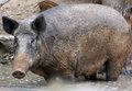 Female wild boar standing in water Royalty Free Stock Photos